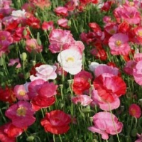 Poppies of the World
