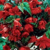 Hangbegonia, Red